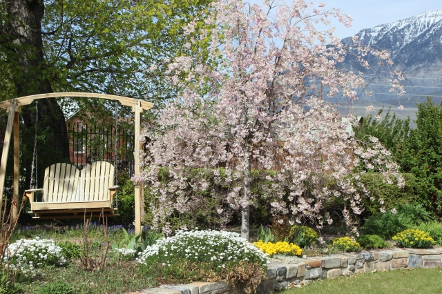 Weeping Cherry April 2013 (1)