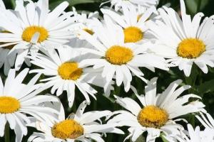 Flowers July 2008 013