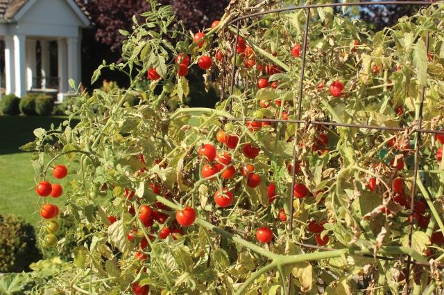 Cherry Tomatoes (1)