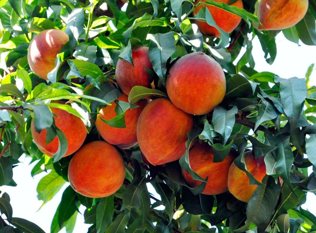 Eating peaches ann 39 s words for The peach tree