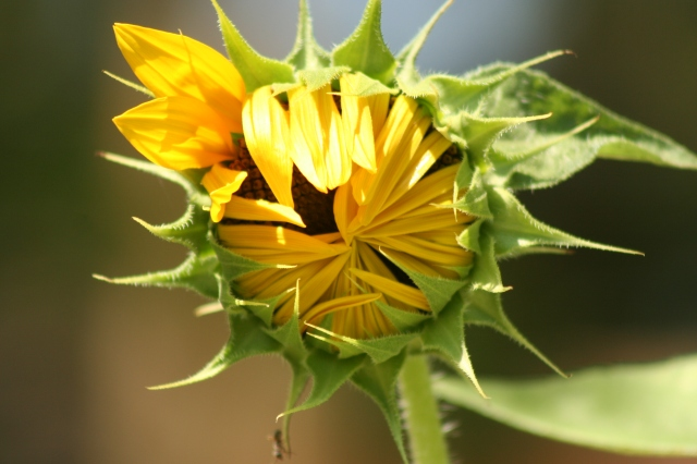 Sunflowers (2)