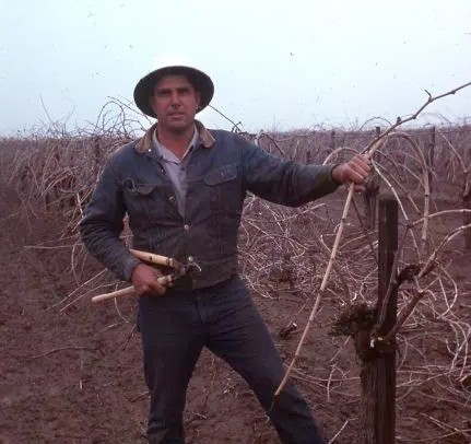 Art Laemmlen pruning vines