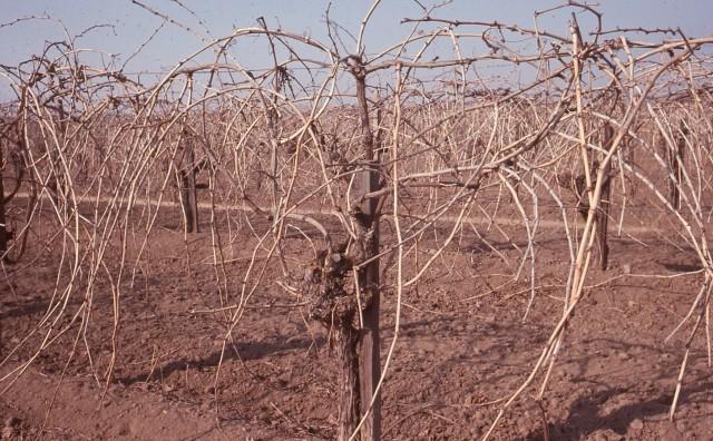 Pruning vines.jpg