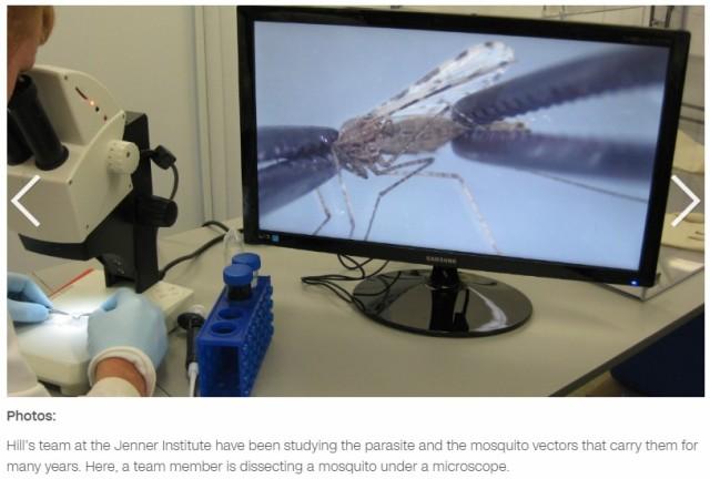 Malaria mosquito dissecting