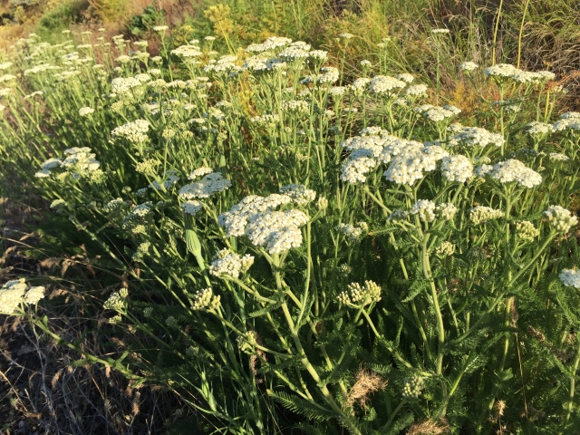 2017-5-27 zCowiche Canyon wildflowers (10)