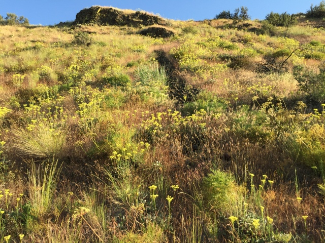 2017-5-27 zCowiche Canyon wildflowers (12)