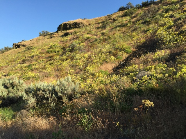 2017-5-27 zCowiche Canyon wildflowers (4)