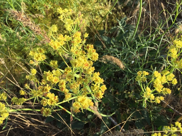 2017-5-27 zCowiche Canyon wildflowers (5)