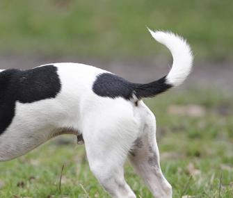 Dog tail